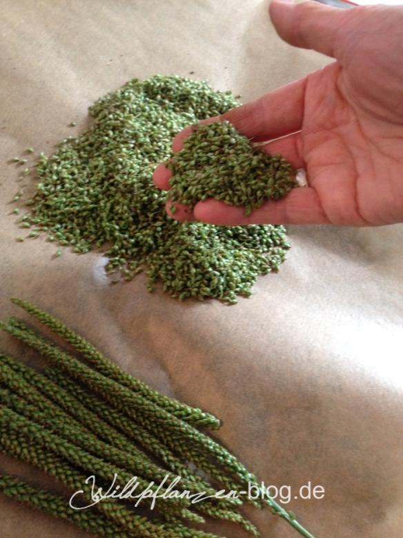 Wildpflanze Breitwegerichsamen