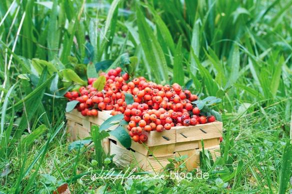 gesammelte Ebereschen Beeren