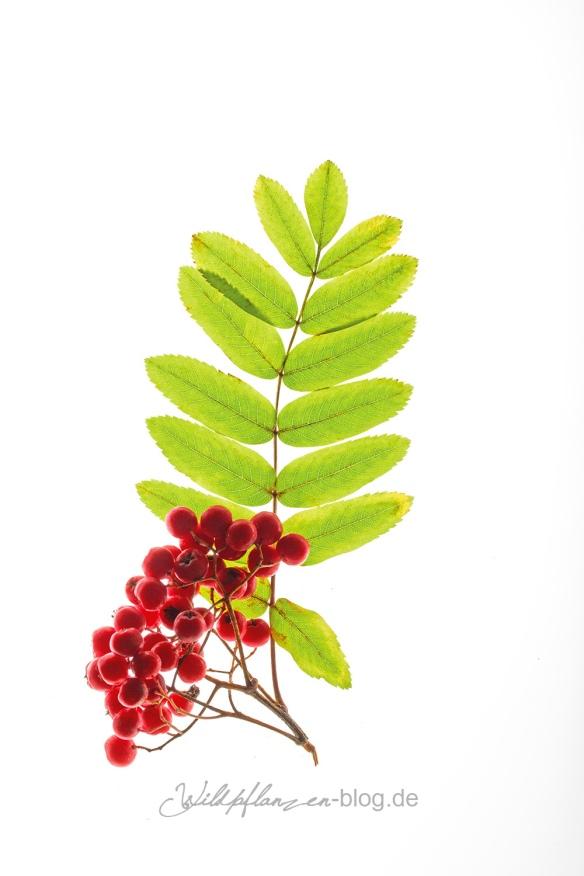 Wildpflanze Eberesche